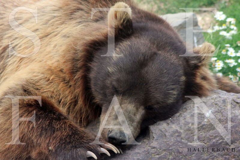 Schlafender Bär, Foto Stefan Hallerbach